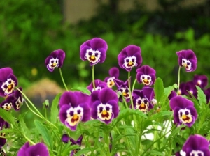 picture of smiling pansies
